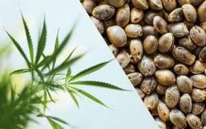 hemp CBD vs. Cannabis