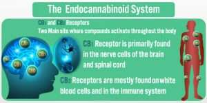 Endocannabinoid system CBD Receptors