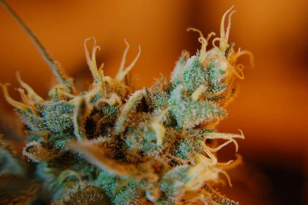 Image of the trichomes containing terpenes on the hemp plant.